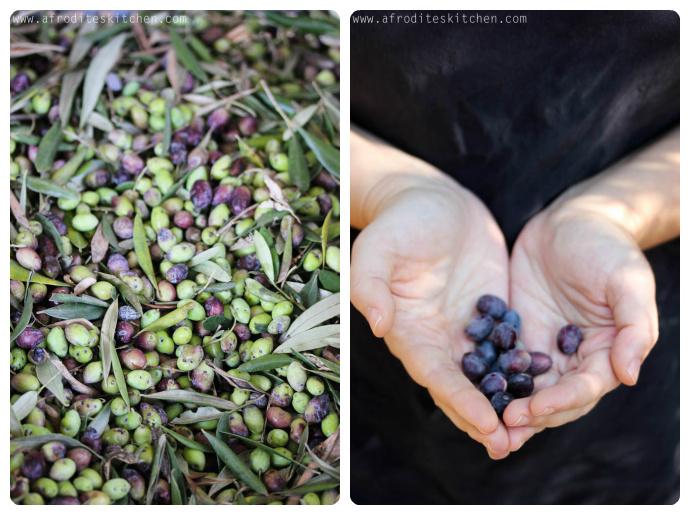 oliveshands