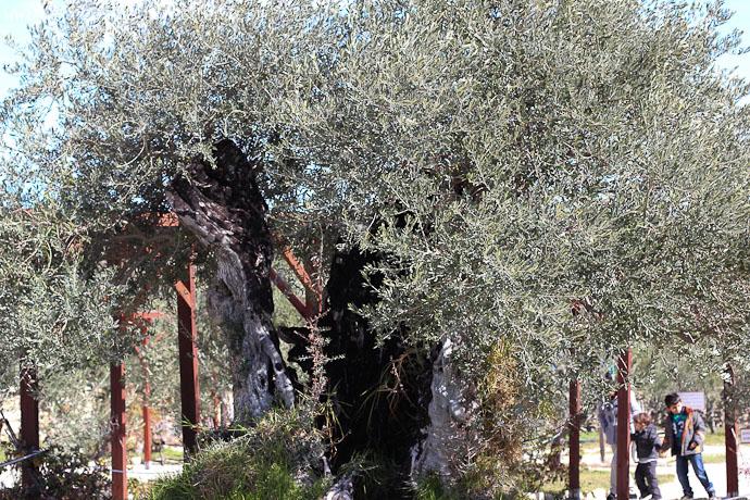 oliveoil-2523