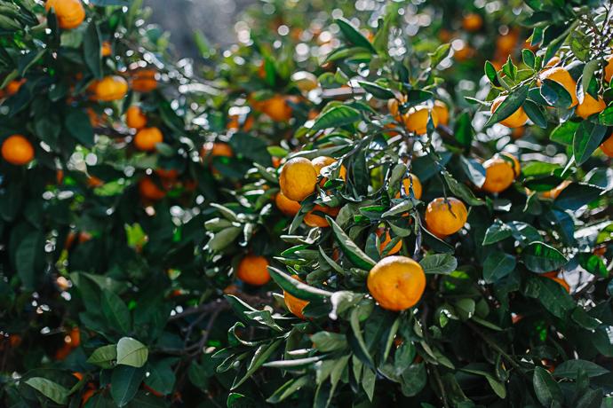 citrus -3291
